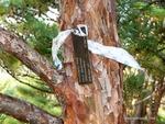 <em>Pinus densiflora</em> 'Umbraculifera' Bark by Julia Fitzpatrick-Cooper