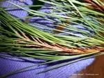 <em>Pinus densiflora</em> 'Umbraculifera' Branch/Twig by Julia Fitzpatrick-Cooper