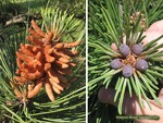 <em>Pinus densiflora</em> 'Umbraculifera' Flower