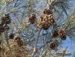<em>Pinus densiflora</em> 'Umbraculifera' Cone