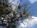 <em>Pinus densiflora</em> 'Umbraculifera' Leaf Number/Attachment by Julia Fitzpatrick-Cooper