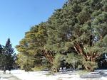 <em>Pinus densiflora</em> 'Umbraculifera' Winter Interest