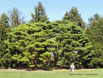 <em>Pinus densiflora</em> 'Umbraculifera' Special ID Features by Julia Fitzpatrick-Cooper
