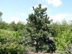 <em>Pinus flexilis</em> Whole Plant/Habit by Julia Fitzpatrick-Cooper