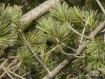 <em>Pinus flexilis</em> Branch/Twig by Julia Fitzpatrick-Cooper
