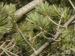 <em>Pinus flexilis</em> Branch/Twig