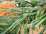 <em>Pinus flexilis</em> Leaf Number/Attachment