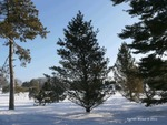 <em>Pinus flexilis</em> Winter Interest by Julia Fitzpatrick-Cooper