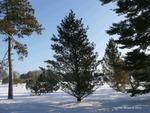 <em>Pinus flexilis</em> Winter Interest