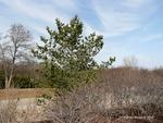 <em>Pinus flexilis</em> Special ID Features