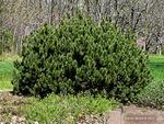 <em>Pinus mugo</em> Whole Plant/Habit by Julia Fitzpatrick-Cooper