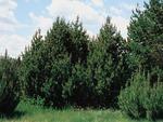 <em>Pinus mugo</em> Whole Plant/Habit