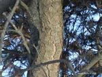 <em>Pinus mugo</em> Bark