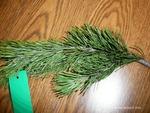 <em>Pinus mugo</em> Leaf Number/Attachment