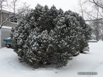 <em>Pinus mugo</em> Winter Interest by Julia Fitzpatrick-Cooper