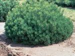 <em>Pinus mugo</em> Special ID Features by Julia Fitzpatrick-Cooper