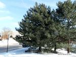 <em>Pinus nigra</em> Whole Plant/Habit by Julia Fitzpatrick-Cooper
