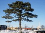 <em>Pinus nigra</em> Whole Plant/Habit