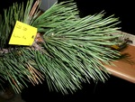 <em>Pinus nigra</em> Leaf Number/Attachment by Julia Fitzpatrick-Cooper