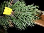 <em>Pinus nigra</em> Leaf Number/Attachment