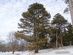 <em>Pinus nigra</em> Winter Interest by Julia Fitzpatrick-Cooper