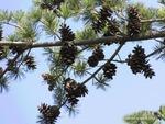 <em>Pinus parviflora</em> Branch/Twig