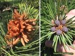 <em>Pinus parviflora</em> Flower