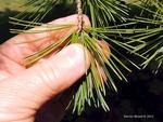 <em>Pinus parviflora</em> Leaf Number/Attachment by Julia Fitzpatrick-Cooper