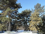 <em>Pinus parviflora</em> Winter Interest by Julia Fitzpatrick-Cooper