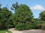 <em>Pinus ponderosa</em> Whole plant/Habit by Julia Fitzpatrick-Cooper