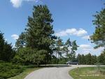 <em>Pinus ponderosa</em> Whole Plant/Habit by Julia Fitzpatrick-Cooper