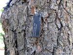 <em>Pinus ponderosa</em> Bark