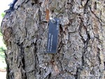 <em>Pinus ponderosa</em> Bark by Julia Fitzpatrick-Cooper