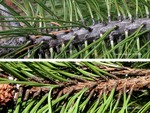 <em>Pinus ponderosa</em> Branch/Twig