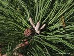 <em>Pinus ponderosa</em> Bud