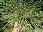 <em>Pinus ponderosa</em> Leaf Number/Attachment