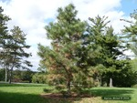 <em>Pinus ponderosa</em> Winter Interest