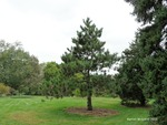 <em>Pinus resinosa</em> Whole Plant/Habit by Julia Fitzpatrick-Cooper