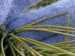 <em>Pinus resinosa</em> Special ID Feature by Julia Fitzpatrick-Cooper