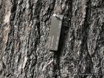 <em>Pinus strobus</em> Bark