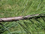 <em>Pinus strobus</em> Branch/Twig by Julia Fitzpatrick-Cooper