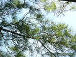 <em>Pinus strobus</em> Branch/Twig