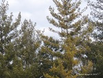 <em>Pinus strobus</em> Winter Interest by Julia Fitzpatrick-Cooper