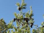 <em>Pinus strobus</em> Special ID Features by Julia Fitzpatrick-Cooper