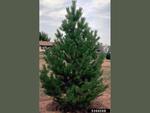 <em>Pinus sylvestris</em> Whole plant/Habit by Julia Fitzpatrick-Cooper