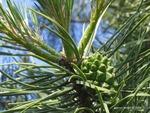 <em>Pinus sylvestris</em> Branch/Twig by Julia Fitzpatrick-Cooper
