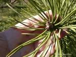 <em>Pinus sylvestris</em> Bud