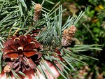 <em>Pinus sylvestris</em> Cone