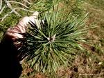 <em>Pinus sylvestris</em> Leaf Number/Attachment by Julia Fitzpatrick-Cooper