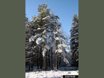<em>Pinus sylvestris</em> Winter Interest